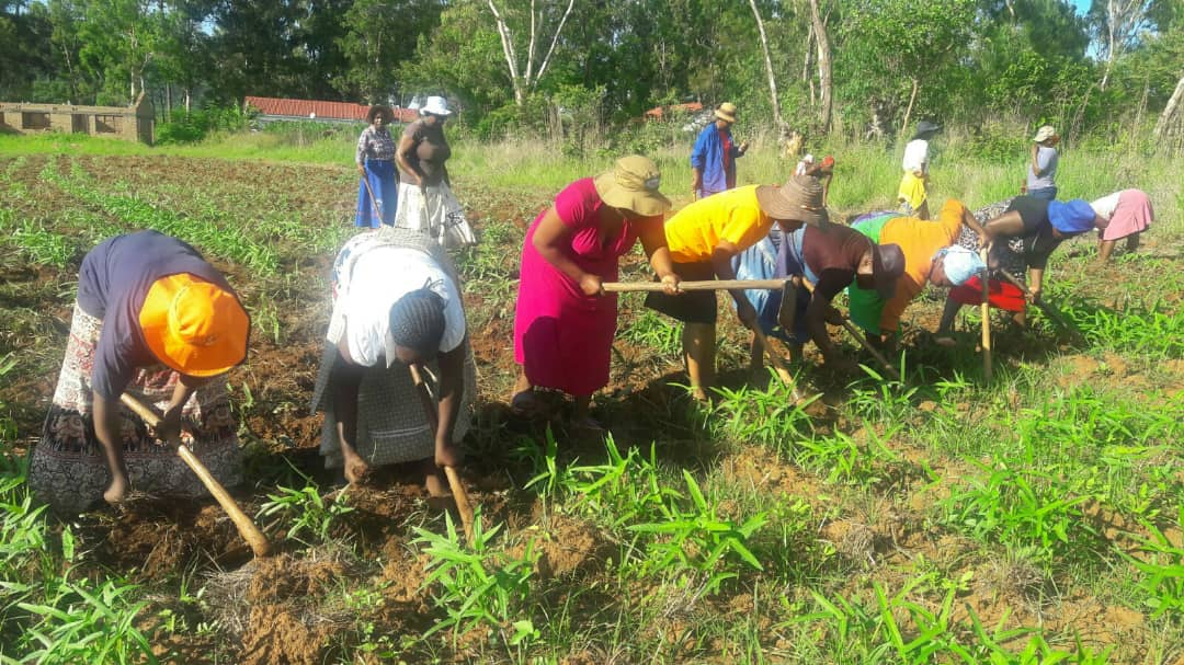 Women weed a cowpeas field at United Methodist Old Mutare Mission Center in Mutare, Zimbabwe. More than 50 women produce cowpeas for the local market as part of a local United Methodist Women project. Photo by Kudzai Chingwe, UMNS.