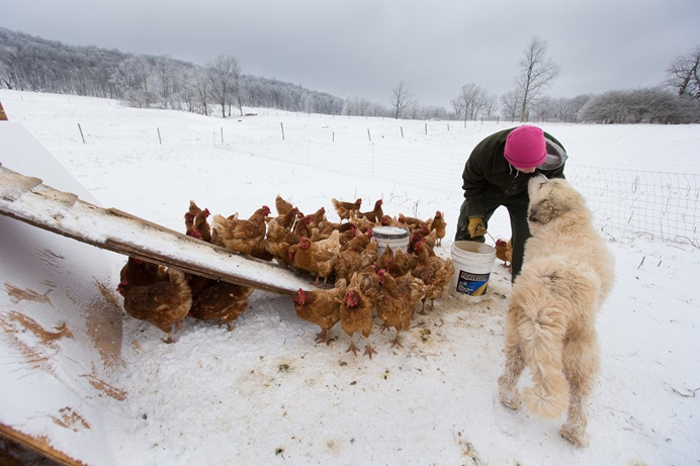Andy, un adicto en recuperación, recibe un beso de Tundra el perro guardián, mientras alimenta pollos en la granja Brookside, que forma parte del programa de rehabilitación Escalera de Jacob en Aurora, Virginia Occidental. Foto: Mike Dubose, Noticias MU.