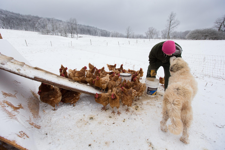 Andy, um viciado em recuperação, recebe um beijo do cão de guarda Tundra enquanto alimenta galinhas em Brookside Farm, parte do programa de reabilitação da Escada de Jacob em Aurora, Virgínia Ocidental. Foto: Mike DuBose, Notícias UM.