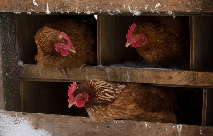 """Chickens huddle in their coop during icy weather at Brookside Farm. """"I connect with nature working on the farm and interacting with the animals,"""" said one resident. """"The longer I'm here, the more I appreciate it."""" Photo by Mike DuBose, UMNS."""