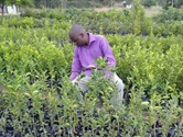 The Rev. Happymore Chipere observes budding nartjies (South African tangerines) at his tree nursery in Mujukuya, Zimbabwe. Chipere is preparing for retirement by growing fruit. Photo by Chenayi Kumuterera, UMNS.